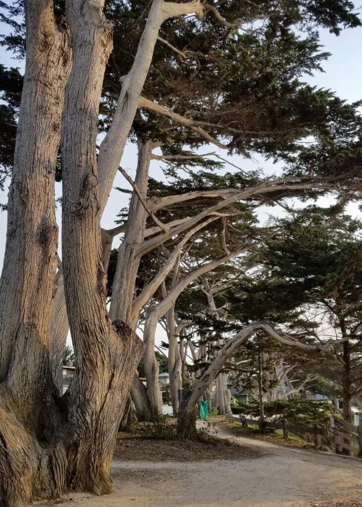 old cypress trees in Carmel, CA
